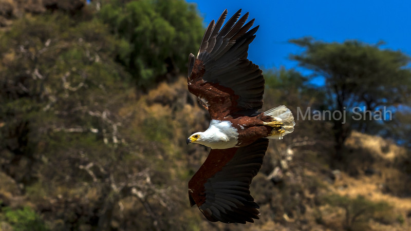 Arrican Fish Eagle in a fishing flight over Lake Baringo.