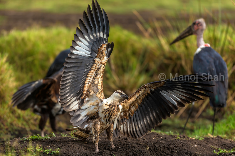 African Fish eagle spreads its wings in defiance to scare off Maabou storks in Masai Mara.