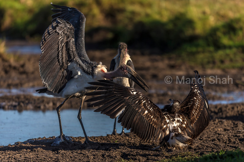 Marabou stok and African Fish Eagle in confrotation