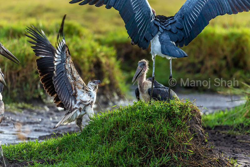 African Fish Eagle Challenges Marabou storks over a catfish catch in Masai Mara.