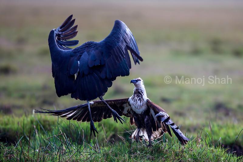 Marabou Stork faces an Africaan Fish Eagle in Masai Mara.