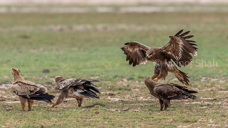 Tawny Eagle flies in to feed on scraps of meat on the ground in Masai Mara