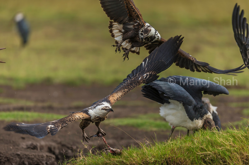 Maabou stork caught a cat fish but it got pinched by an African fish eagle. Now a second Fish Eagle flies in to take the catfish from the first eagle.