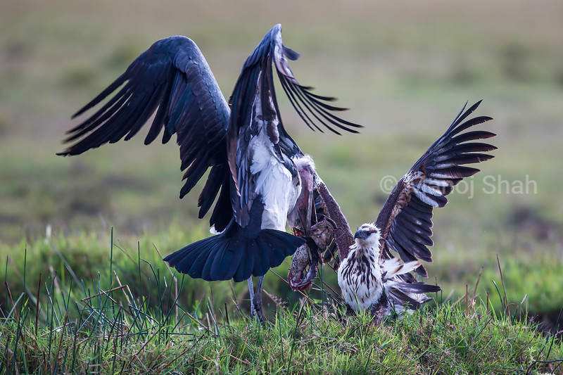 Marabou Stork with a catfish faces an Africaan Fish Eagle in Masai Mara.