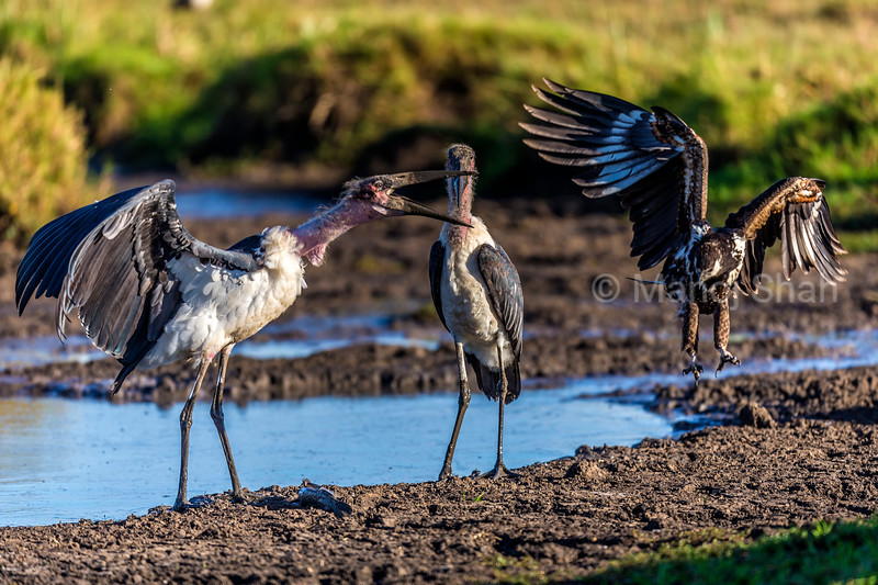 Marabou stork defends the cat fish it caught from the tributary of Mara River, The African Fish Eagle swoops in to grab the fish.