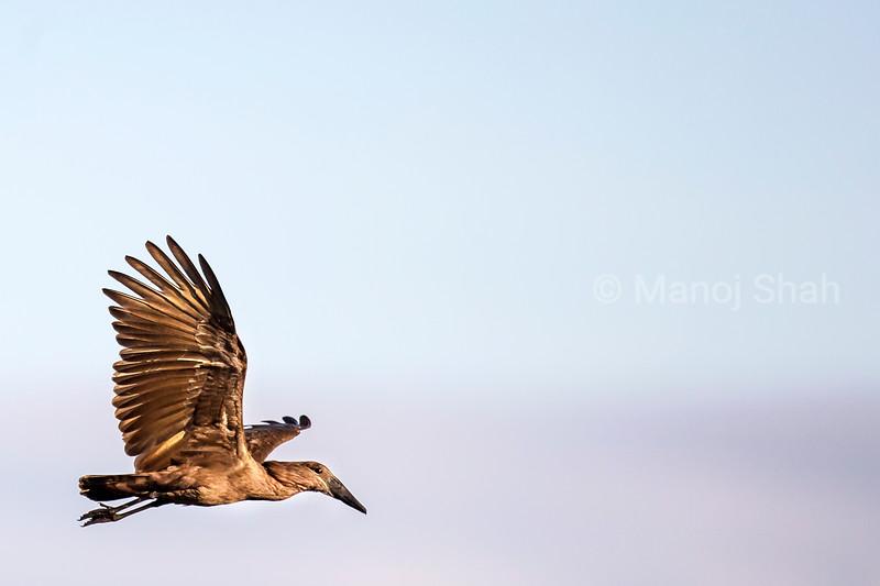 Hammerkop in flight in Masai Mara.