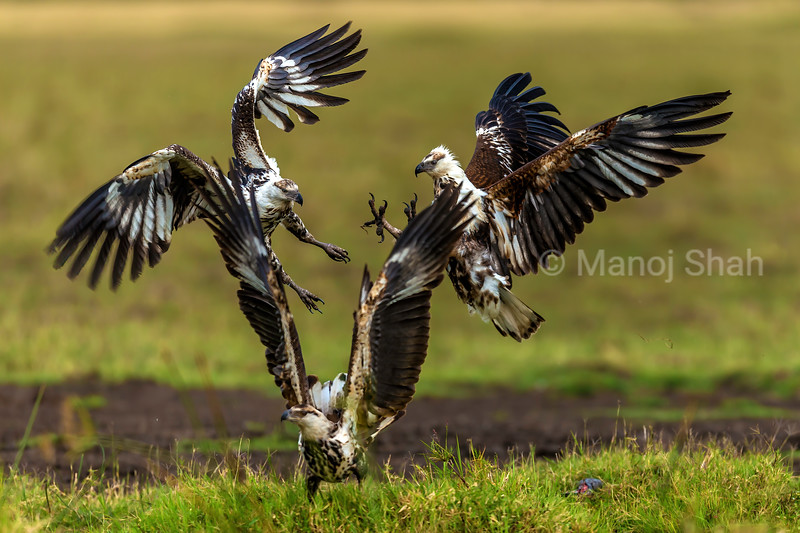 Two African Fish Eagles fight in aiir while a third one spreads irs wings next to a cat fish catch in Masai Mara.