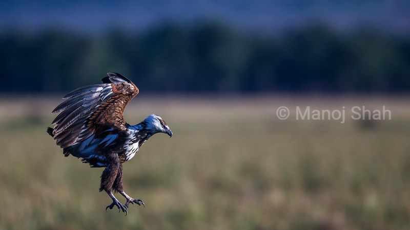 African Fish eagle about to land from a flight in Masai Mara