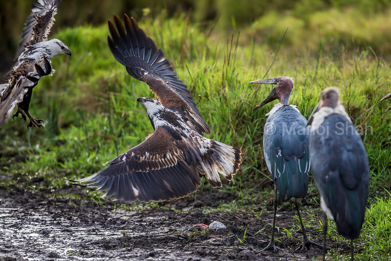 African Fish Eagles in duel with Marabou storks watching in Masai Mara.