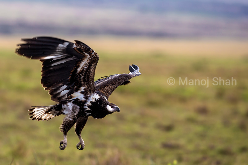 African Fish eagle in a flight in Masai Mara