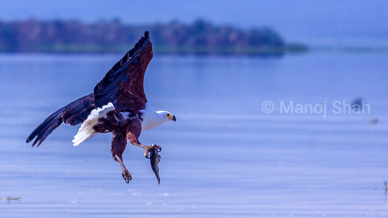 African Fish Eagle putting out its talons for fishing in Lake Baringo, Kenya
