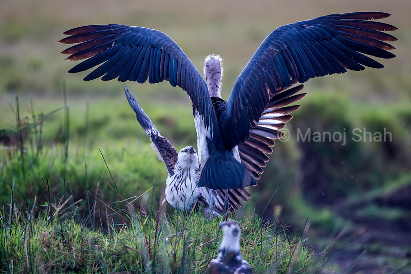 Marabou Stork faces an Africaan Fish Eagle in Masai Mara.