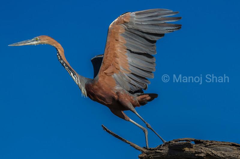 Grey heron takig off on a flight at Lake Baringo.