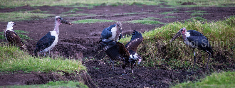 African FIsh Eagle eats catfish surrounded by Marabou storks in Masai Mara .
