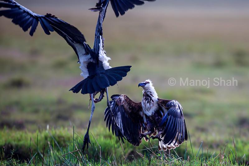 Marabou stork facing African Fish Eagle in Masai Mara, Kenya