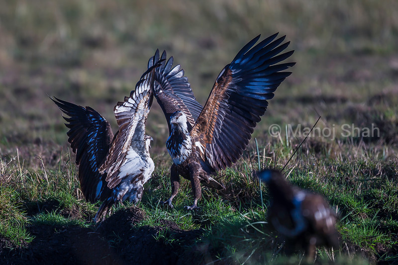African Fish Eagles in a duel for suppremacy in Masai Mara