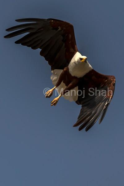 African Fish Eagle hovering over Lake Baringo, Great Rift Valley, Kenya