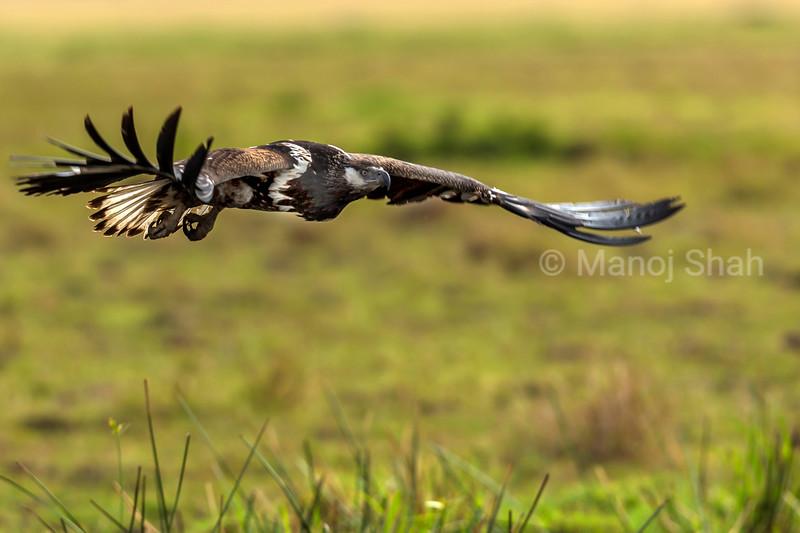 African Fish Eagle in a flight over Masai Mara.