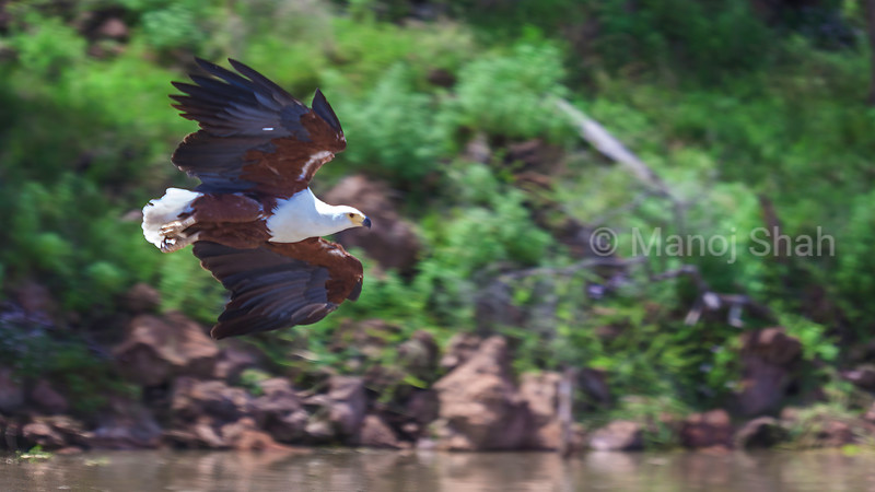 African Fish Eagle on a flight for fishing in Lake Baringo, Kenya