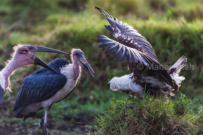 Marabou stork and African Fish Eagle in confrotation