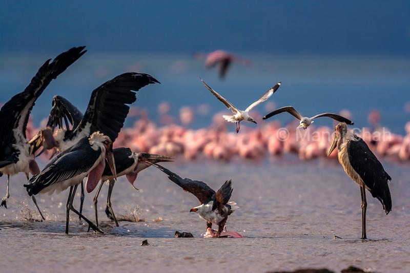 Marabou storks watch African Fish Eagle devouring a dead flamingo in Lake Nakuru.