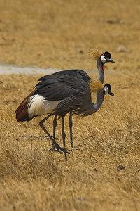 Ngorongoro Crater Crowned Cranes