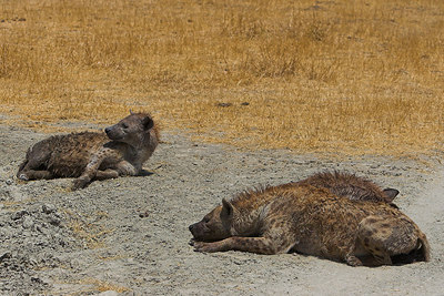 Ngorongoro Crater Lazy Hyenas