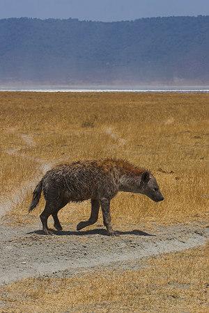 Ngorongoro Crater Hyena