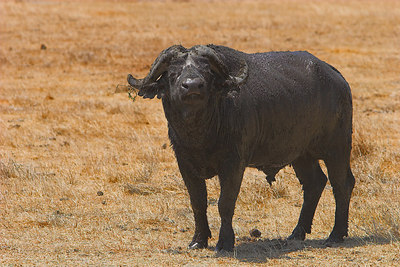 Ngorongoro Crater Muddy African Buffalo