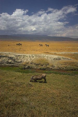 Ngorongoro Crater Grazing Warthog