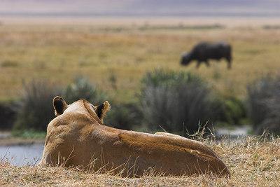 Ngorongoro Crater Lioness watching Buffalo