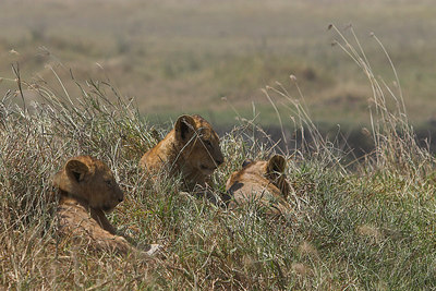 Ngorongoro Crater Lion Cubs