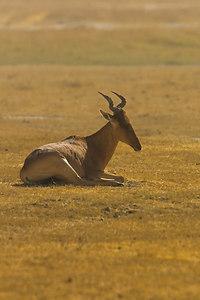 Ngorongoro Crater Hartebeest