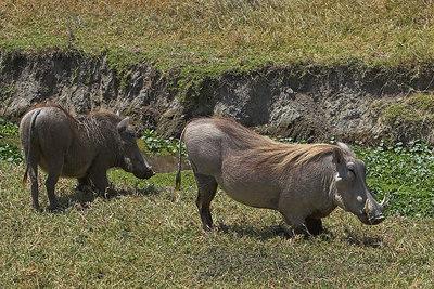 Ngorongoro Crater Grazing Warthogs