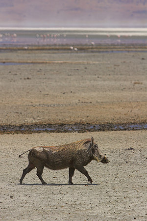 Ngorongoro Crater Warthog & Distant Flamingos