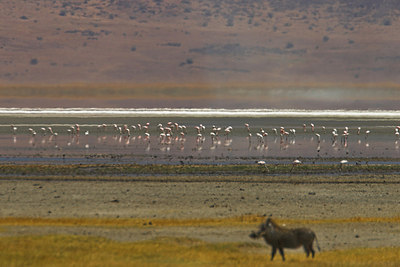 Ngorongoro Crater Warthog & Flamingos - Lake Magadi