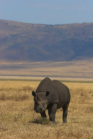 Ngorongoro Crater Black Rhino Grazing