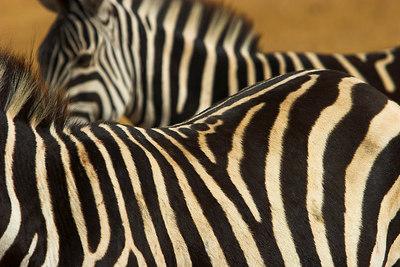 Ngorongoro Crater Zebra Stripes
