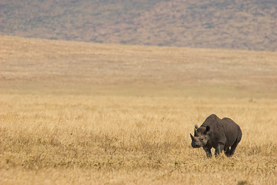 Ngorongoro Crater Black Rhino
