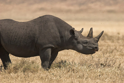 Ngorongoro Crater Black Rhino Profile