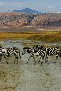 Ngorongoro Crater Zebra Crossing