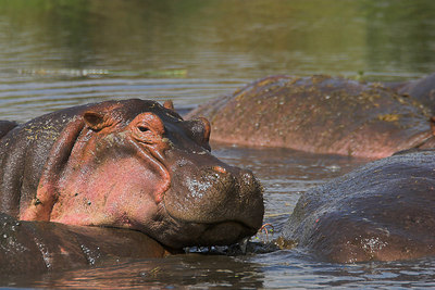 Ngorongoro Crater Resting Hippos