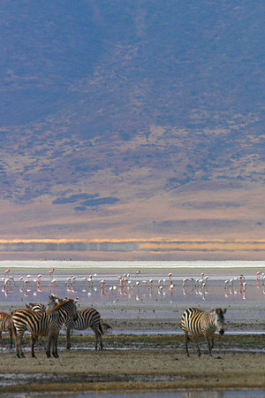 Ngorongoro Crater Zebra & Flamingos by Lake Magadi