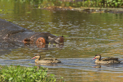 Ngorongoro Crater Submerged Hippo with Ducks