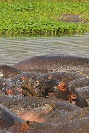 Ngorongoro Crater Hippo Pod Sunning