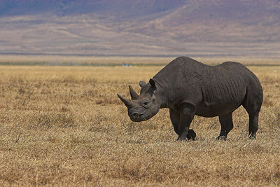 Ngorongoro Crater Black Rhino Walking