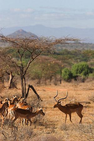 Samburu NP Impala Harem & Male