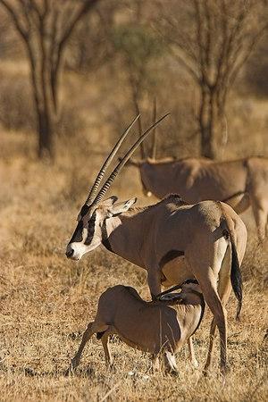 Samburu NP Beisa Oryx Suckling Young