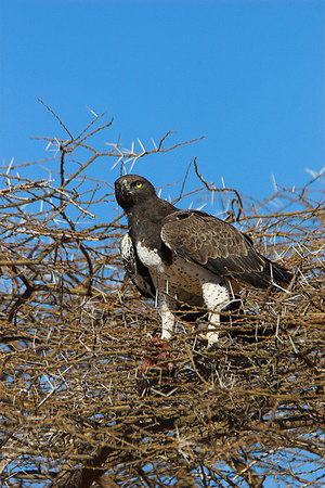Samburu NP Martial Eagle with Kill