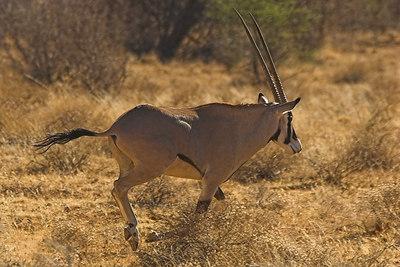 Samburu NP Beisa Oryx